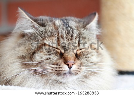 female cat, tricolor version of siberian breed