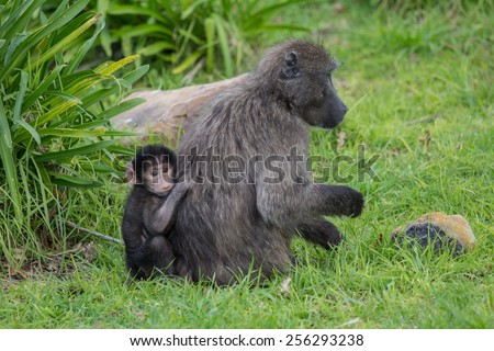 Female chacma baboon with young infant near Cape Town, South Africa - stock photo