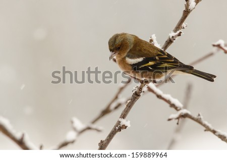 Female chaffinch bird sitting in a tree in winter time with blurred background - stock photo
