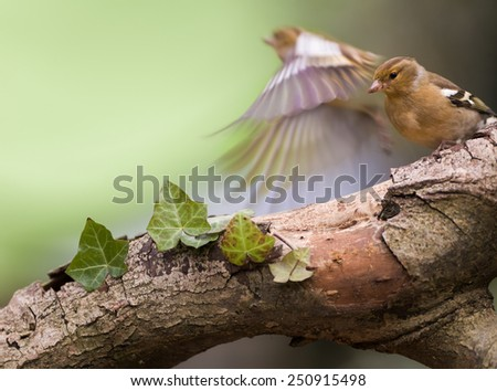 Female chaffinch flying away - stock photo