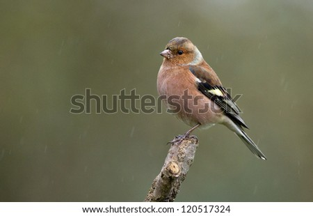 Female Chaffinch (Fringilla coelebs) perched on a twig - stock photo