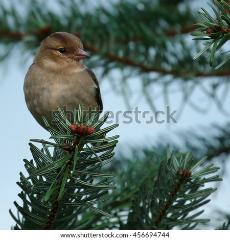 Female Chaffinch perched on a Christmas-like pine branch with berries - stock photo