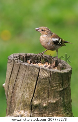 Female Chaffinch perched on a tree stump - stock photo