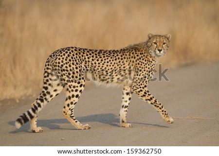 Female Cheetah (Acinonyx jubatus) walking in South Africa's Kruger Park - stock photo