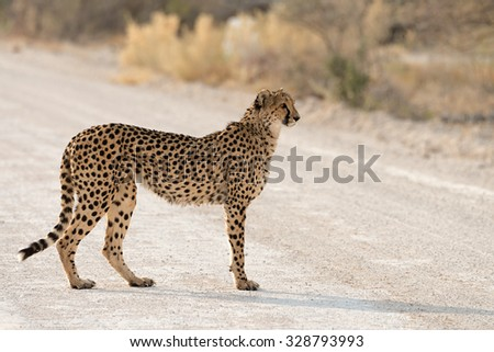 Female cheetah crossing the road in Etosha National Park, Namibia
