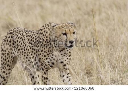 Female Cheetah walking across the Masai Mara