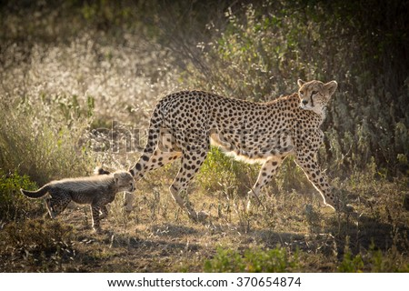 Female Cheetah with one cub, Ndutu, Serengeti, Tanzania - stock photo