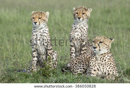 Female cheetah  with two of her cubs - stock photo