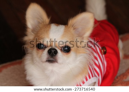 Female Chihuahua dog with red dressed. - stock photo