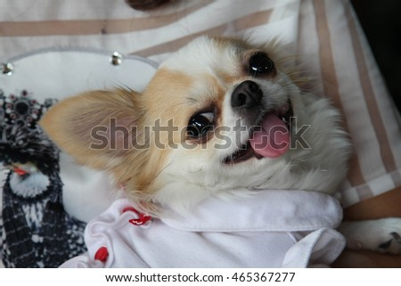 Female Chihuahua dog with white dressed.