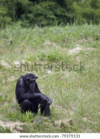 Female chimpanzee sitting in a field of green grass