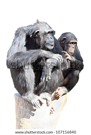 Female chimpanzee with a baby isolated on white background - stock photo