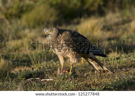 Female cinereous harrier with a prey in the Laguna Nimez in Patagonia, Argentina - stock photo