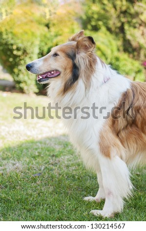 Female collie in the grass