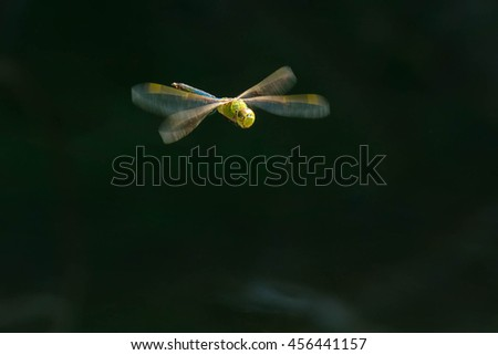 Female Common Green Darner hovering over the dark water.