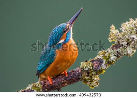 Female Common Kingfisher (Alcedo atthis) perched on a lichen covered branch looking up at the sky - stock photo