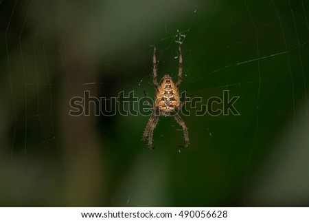 Female Cross Orbweaver Spider waiting patiently in her web.