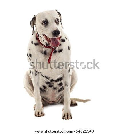 female dalmatian sitting in front of white background - stock photo