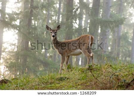 Female Deer - stock photo