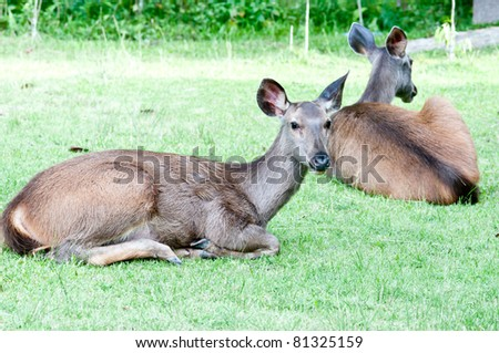 Female Deer on relaxing - stock photo