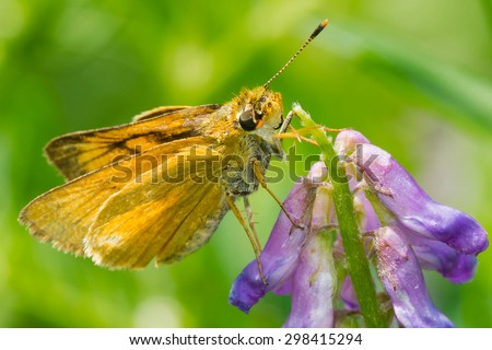 Female Delaware Skipper Butterfly collecting nectar from a cow vetch flower.
