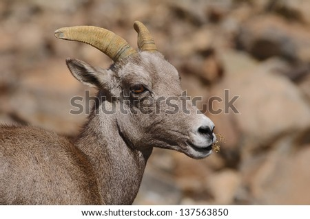 Female desert bighorn sheep (Ovis canadensis nelsoni) in Death Valley National Park.  - stock photo
