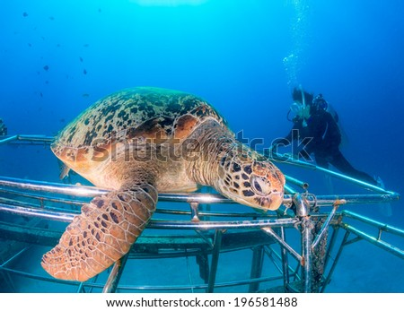 Female diver watching a Green Turtle resting on an artificial reef - stock photo