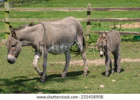 Female donkey with her two month old young baby donkey foal walking across a field - stock photo