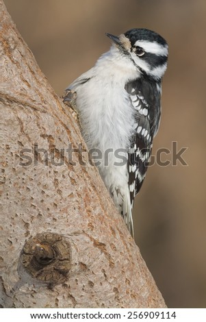 Female Downy Woodpecker perched on a tree. - stock photo