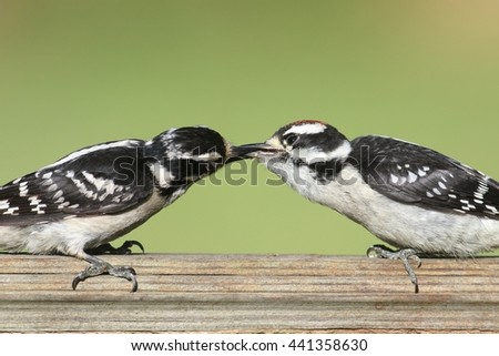 Female Downy Woodpecker (Picoides pubescens) on a perch feeding her baby - stock photo