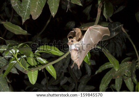 Female dwarf epauletted fruit bat (Micropteropus pussilus) flying with a baby on her belly. - stock photo