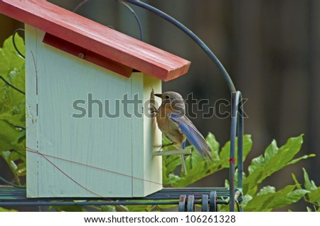 Female Eastern Bluebird checking on her babies - stock photo