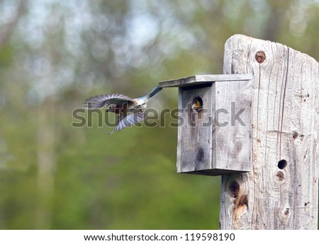 Female Eastern Bluebird flies from her nest to find more food for her growing family - stock photo