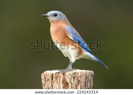 Female Eastern Bluebird (Sialia sialis) on a perch - stock photo