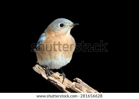 Female Eastern Bluebird (Sialia sialis) on a perch with a black background - stock photo