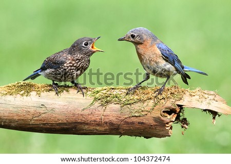 Female Eastern Bluebird (Sialia sialis) with her baby - stock photo