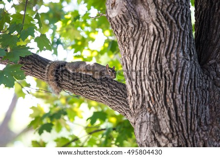 Female eastern gray squirrel napping relaxing stock photo female eastern gray squirrel napping relaxing lazy in maple tree sciox Choice Image