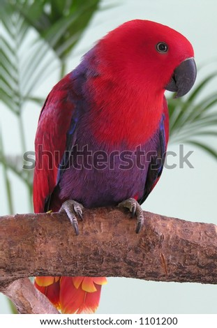 Female Eclectus Parrot - stock photo