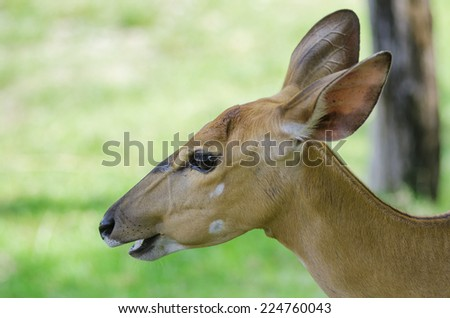 Female Eld's deerFemale Eld's deer