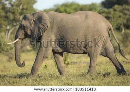 Female elephant in South Africa's Mala Mala Game Reserve - stock photo