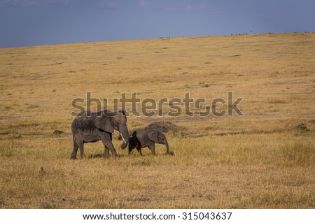 Female elephant roaming with her calf in the Serengeti National Park, Tanzania, Africa