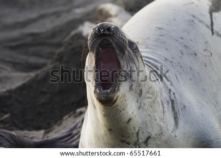 Female Elephant Seal defends her territory - stock photo