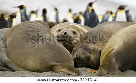 Female elephant seal group lying on beach - South Georgia - stock photo