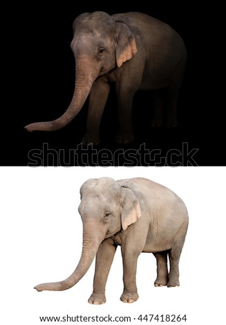 female elephant standing at night time with spotlight and female elephant isolated - stock photo