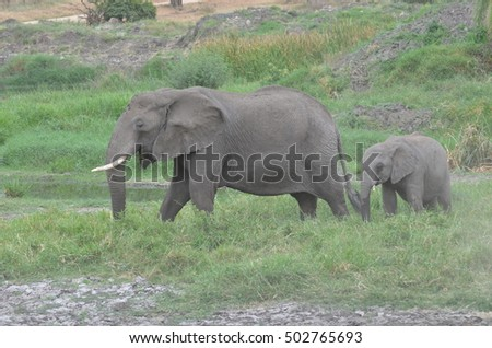 Female elephant walks with her son  in Tarangire National Park in Tanzania Africa