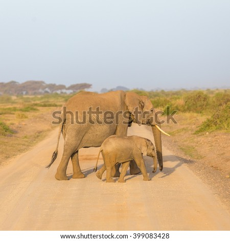 Female elephant with her calf crossing dirt road in Amboseli national park in Kenya, Africa.