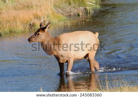 Female Elk (Cervus canadensis) in in Yellowstone National Park along the Madison River - stock photo