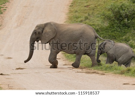 Female elphant and calf crossing a dirt road in the morning
