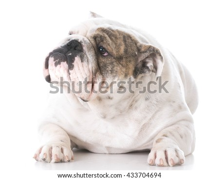 female english bulldog laying down on white background