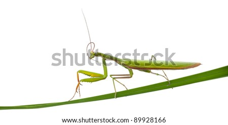 Female European Mantis or Praying Mantis, Mantis religiosa, on blade of grass in front of white background